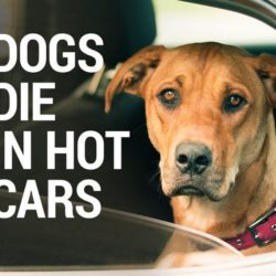 Hot Cars And Pet Safety